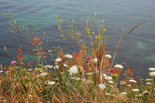Cliff-top flowers