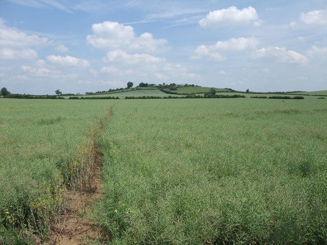 Rape field at the foot of Bringhurst Hill