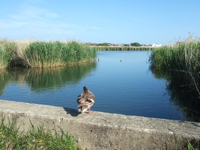 Mallard in RSPB reserve, Weymouth
