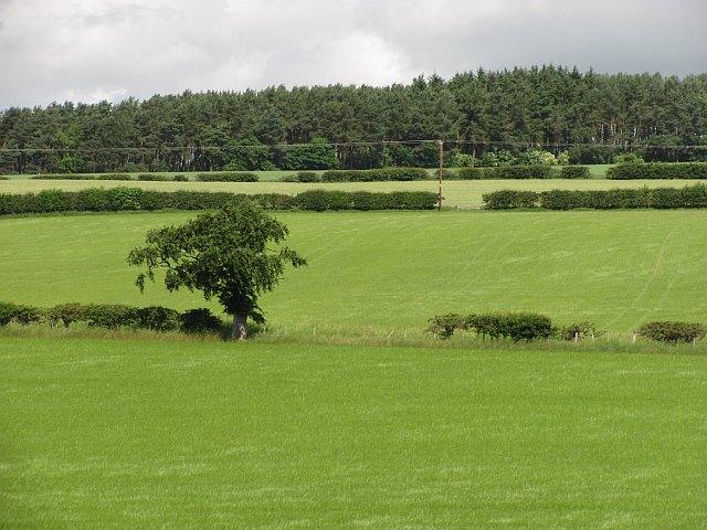 Barley, Maidenhall