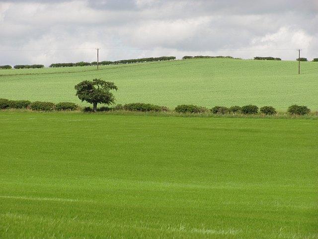 Wheat and barley, Maidencote