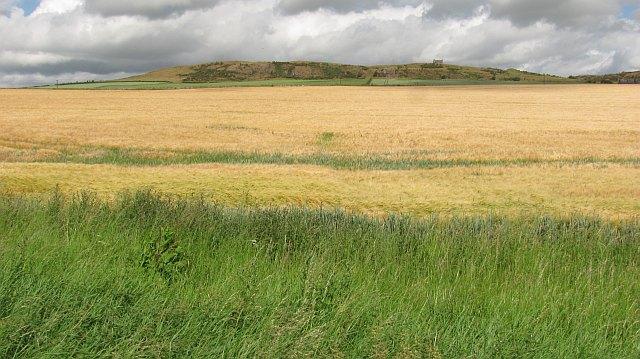 Barley by Lady Hill