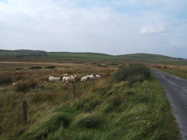 Sheep near the telephone box