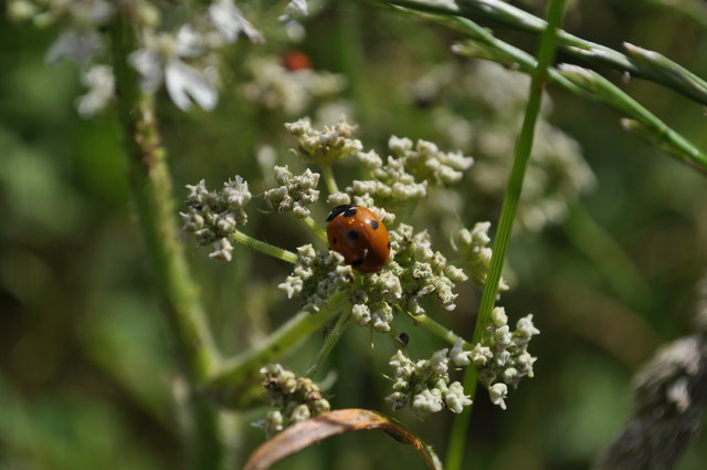 One of a number of ladybirds on plants in a gateway on Mortehoe Station Road