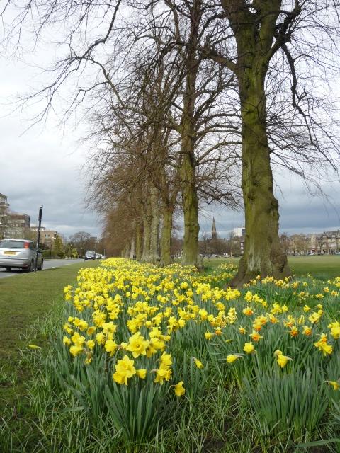Daffodils along Beach Grove