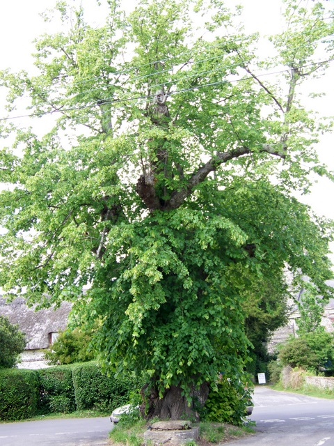 Lime tree, Winterborne Stickland