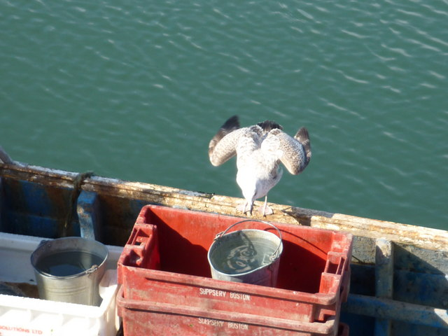 Hey, D'ya Wanna See My Gannet Impersonation? : Diving Into A Bucket at Victoria Harbour, Dunbar