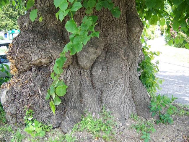 Lime tree, Winterborne Stickland