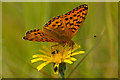 TQ1751 : Dark Green Fritillary (Argynnis aglaja) by Ian Capper