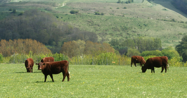 2010 : Cattle on Cradle Hill