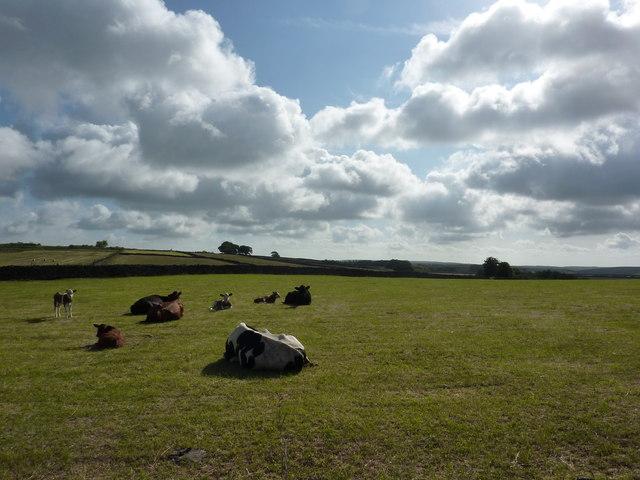 Cattle grazing, White Rake