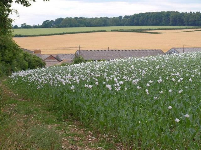 Poppies, Shepherd's Corner Farm