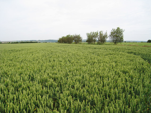 Wheat Field near Dymchurch