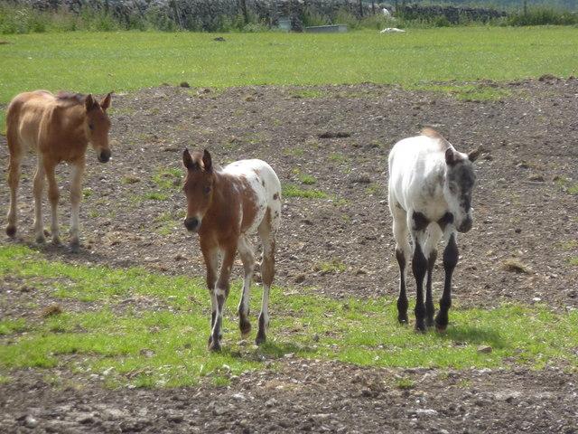 Foals on Bradwell Moor