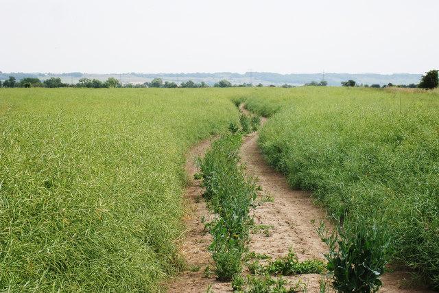 Track through Pea Crop
