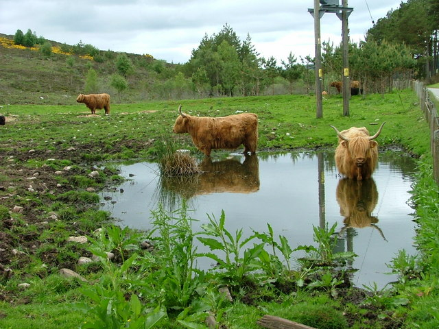 Cattle in reflective mood at Achmein