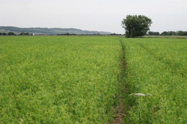 Crop Field near Eastbridge Sewer