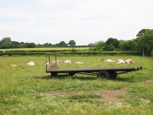 Cows and Trailer