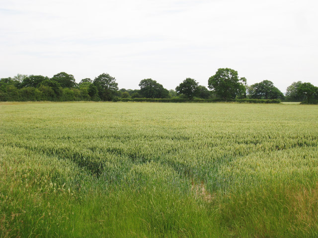 Wheat Field off Brisley Lane
