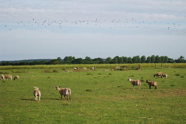Sheep near Abbatridge Sewer