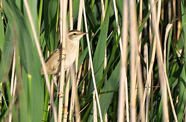 Sedge Warbler - East Aberthaw