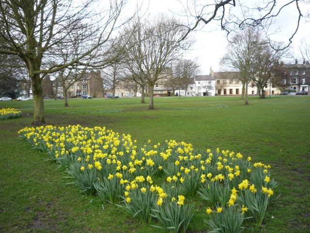 Daffodils on Skipton Road Stray