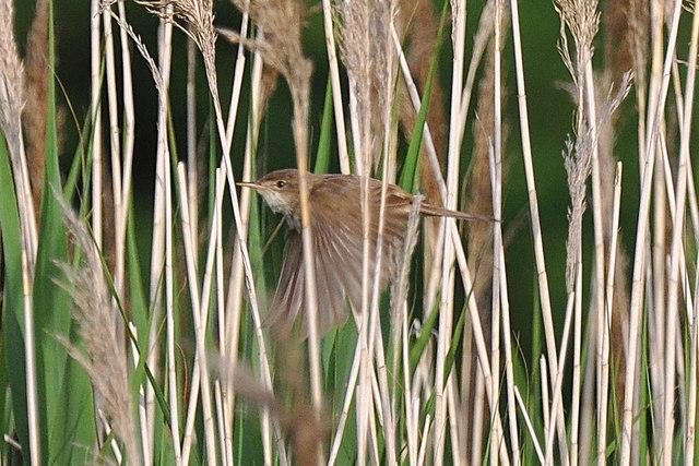 Reed Warbler - East Aberthaw