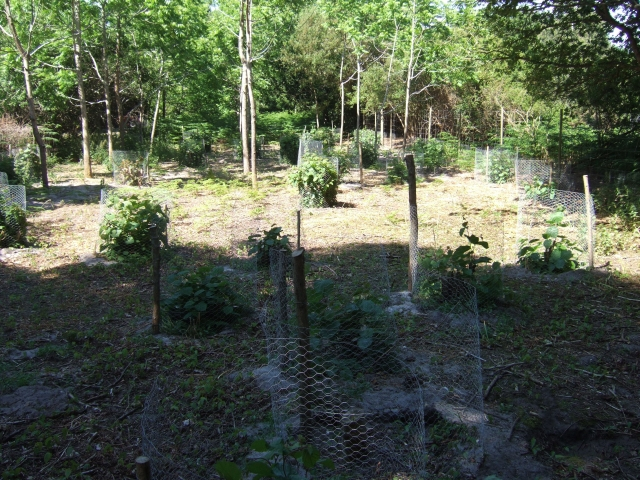 Newly planted trees, Brownsea Island