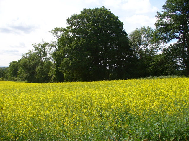 Oilseed Rape in the Weald