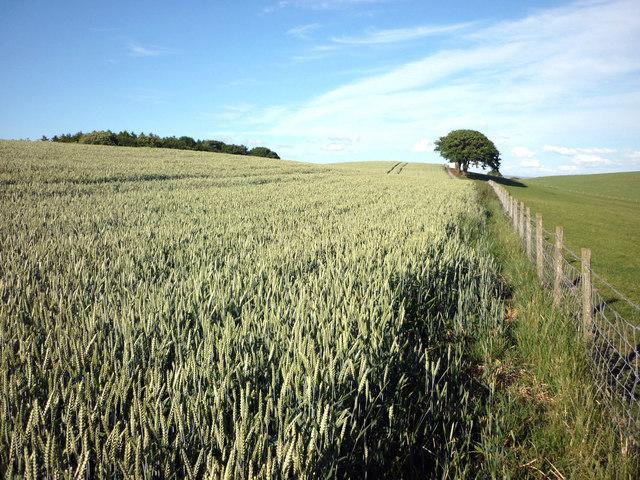 Barley field, Moor Lane, Wray