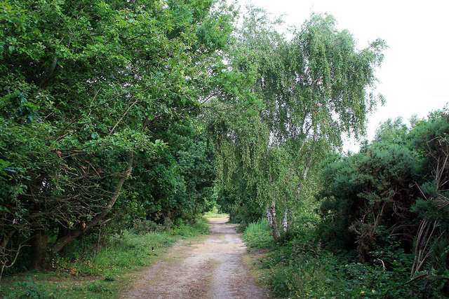 Path with birch tree