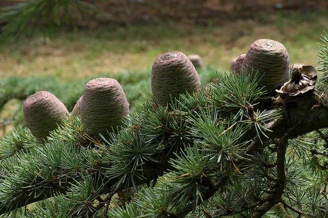 Cedar cones, Oake