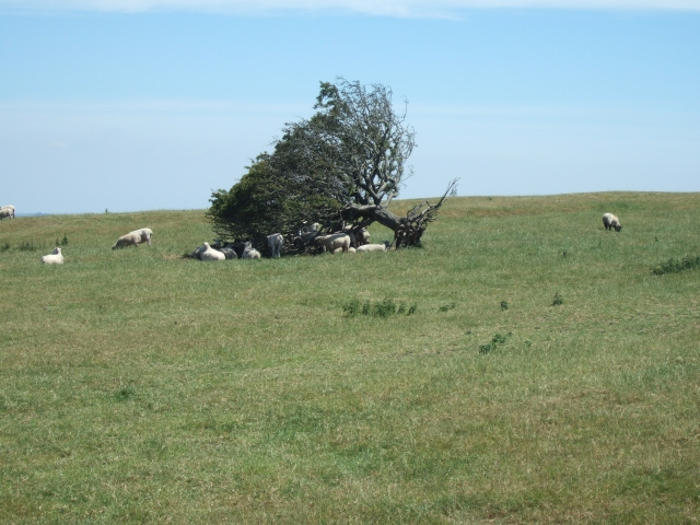 Sheep sheltering on Bronkham Hill
