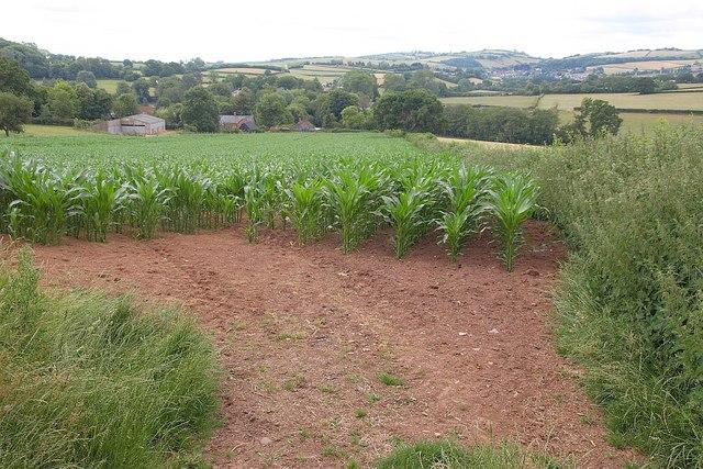 Maize near Ford