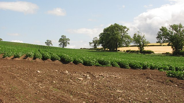 Potatoes, Millfield