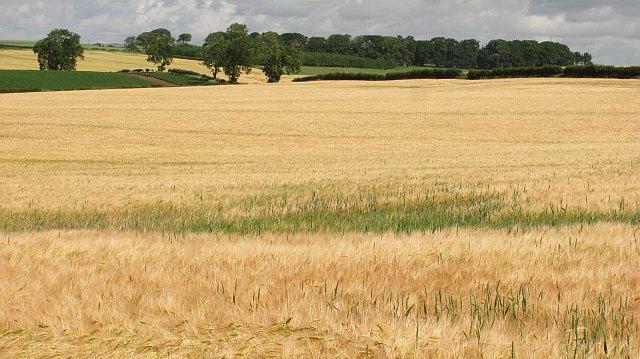 Barley, Millfield