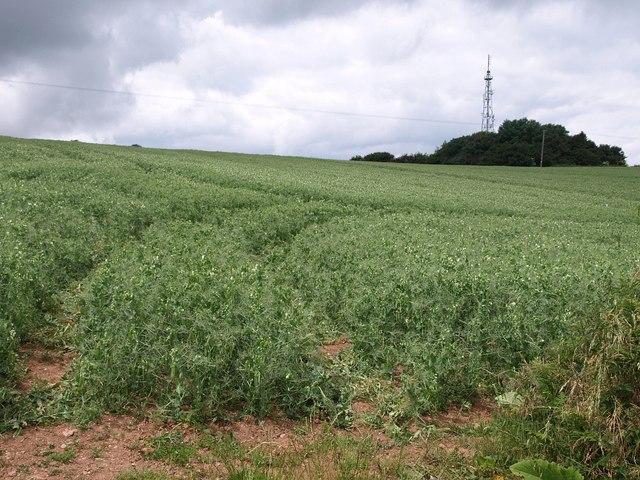 Beanfield near Ashbeer