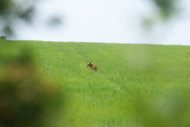 Fox in the Field, Merstham, Surrey