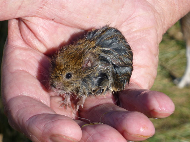 Bamburgh Wildlife : The Harkess Rocks Water Vole