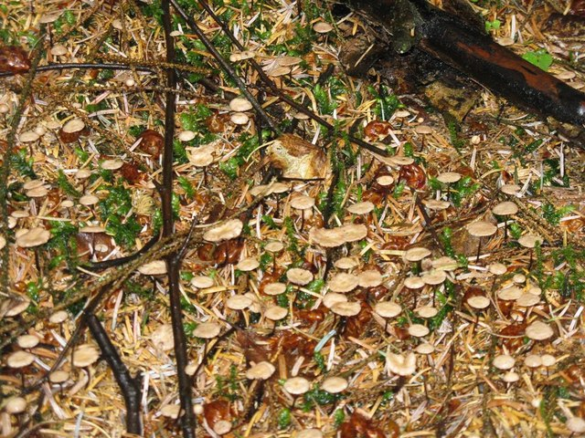 Forest floor fungi at Beecraigs