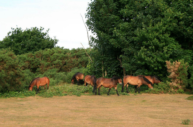 Ponies on Turbary Common