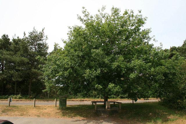 An oak for T E Lawrence