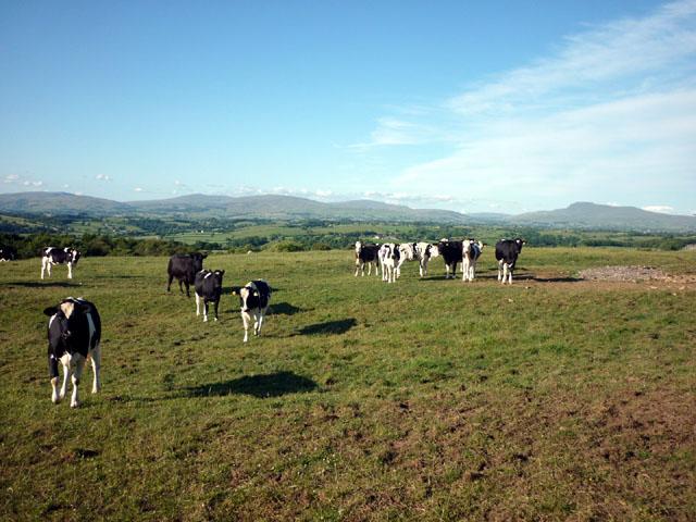 Cattle, Moor Lane