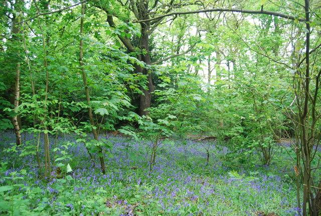 Bluebells, Beckenham Place Park