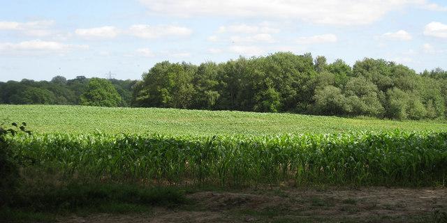 Maize Field off Mutton Hill