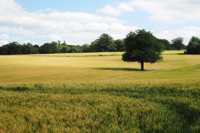 Barley Field near Greathed Manor