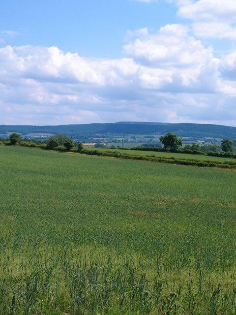 Wheat field at Bullamoor