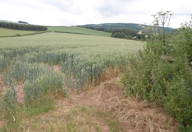 Wheatfield near Combe Cross