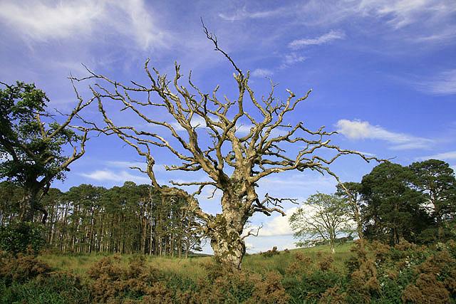 A dead tree near Whiteburn