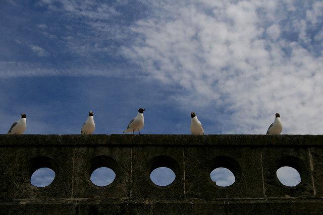 Black headed gulls in a row